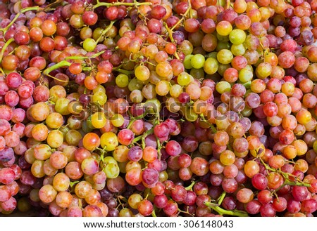 Collected Clusters of Beautiful Grapes at Harvest Time