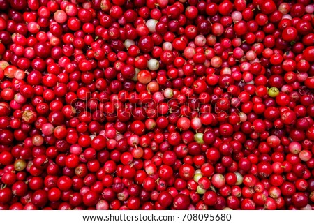 Collected in the forest cranberries medicinal evergreen. Autumn edible useful berries. Natural food of wild nature, rich in vitamins. Fall season of picking berries in Northern Europe and the tundra.