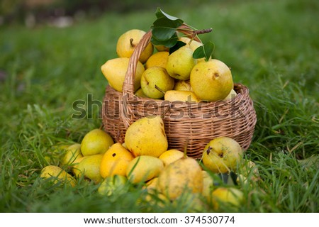 Collected pears in   basket on   grass.