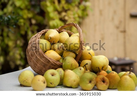 Collected pears in   basket on   white table
