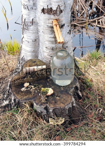 Collecting birch sap from tree in glass jar.        - stock photo