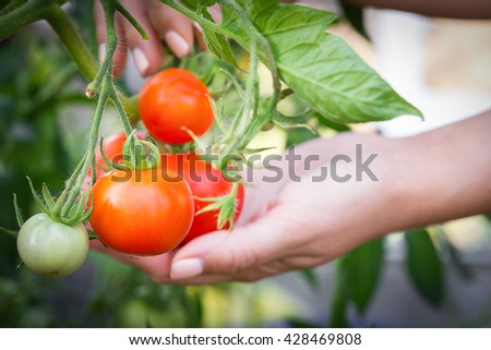 Collecting red tomato from plant inside hothouse, closeup - stock photo