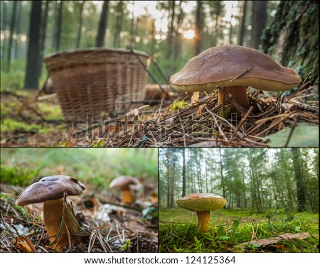 Collecting wild mushrooms in the forest - stock photo