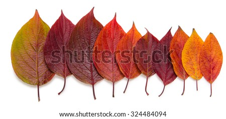 collection beautiful colorful autumn leaves isolated on white background in the picture - stock photo