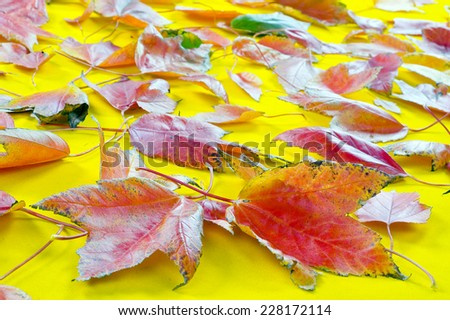 collection beautiful colorful autumn leaves isolated on yellow background  - stock photo