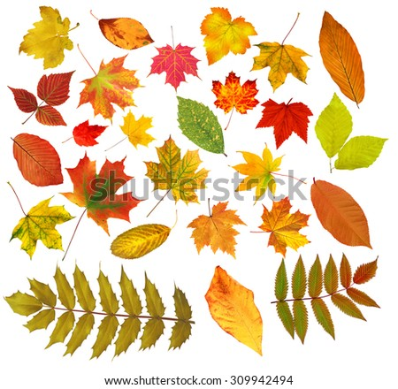 collection beautiful colourful autumn leaves isolated on white background - stock photo