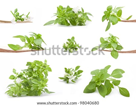 Collection Fresh young basil isolated on white background - stock photo