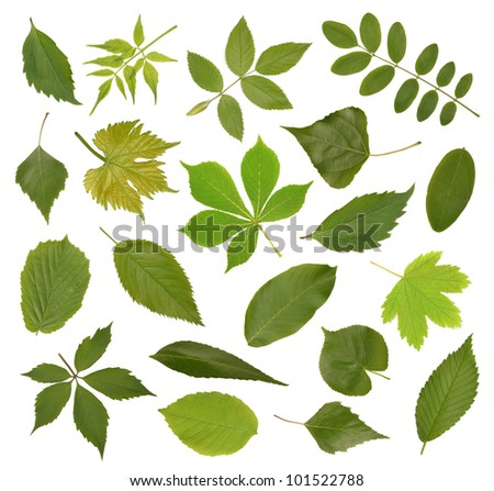 Collection green tree leaves, high resolution isolated on white - stock photo