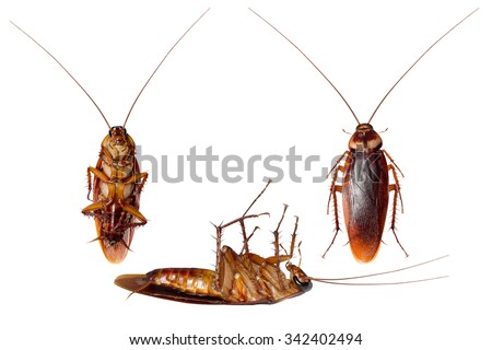 Collection image of Cockroaches isolated on white background with clipping path - stock photo