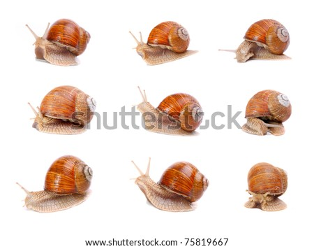 Collection of a garden snails (Helix aspersa) in different position. Snails provide an easily harvested source of protein to many people around the world. - stock photo