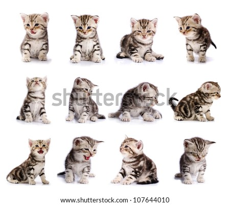 collection of American Short hair cat kitten isolated on white background - stock photo