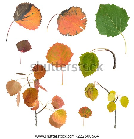 Collection of Autumn Aspen leafs, Populus tremula with autumn colors isolated on white background  - stock photo