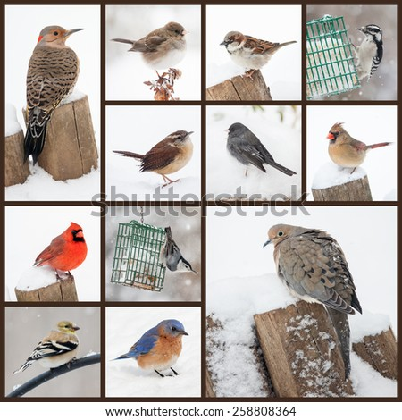 Collection of backyard birds in snow, including flicker, dove,cardinals, bluebird, goldfinch, nuthatch, wren, sparrows, junco and woodpecker. Photographed in Northern Virginia. - stock photo