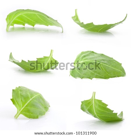 Collection of basil leaf isolated on white - stock photo