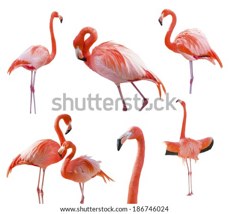 Collection of Beautiful Flamingos Isolated on a White Background - XXXL. - stock photo