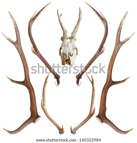 collection of beautiful hunting trophies of roe and red deer isolated over white - stock photo