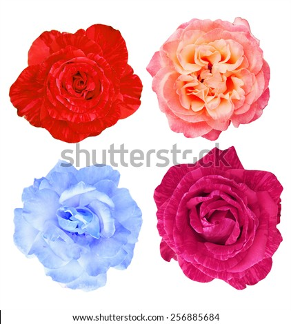 Collection of beautiful roses, collage, top view, isolated - stock photo