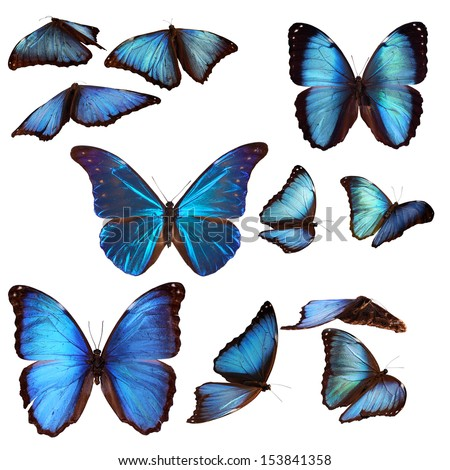 Collection of blue morpho butterflies - stock photo