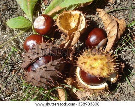 Collection of chestnuts, prickly shells and leaves, on the ground