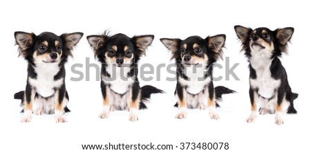 collection of Chihuahua isolated on white background - stock photo