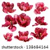 Collection of coral red tulips isolated on white background. Clipping path! - stock photo