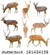 collection of deer isolated on white background - stock photo
