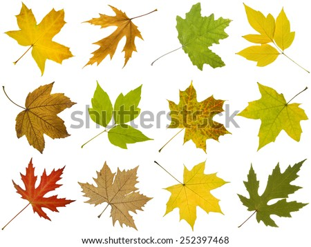 Collection of different autumn leaves of maple tree isolated on white background  - stock photo