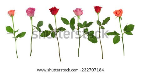 Collection of different roses isolated over white background, shot separately - stock photo