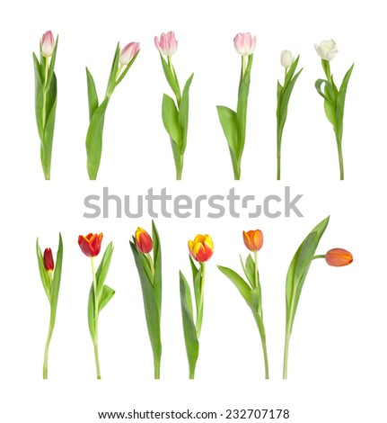 Collection of different tulips isolated over white background, shot separately - stock photo