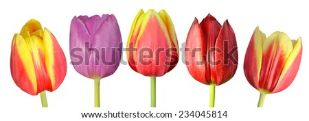 Collection of Five Colorful Tulip Flowers with Green Sticks Isolated on White Background