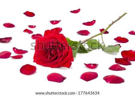 ... rose-petals-arranged-with-a-red-long-stem-rose-on-a-white-background