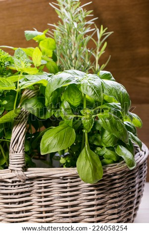 Collection of Fresh Spicy Herbs in Basket. thyme, basil, oregano, parsley, marjoram, rucola, sage and rosemary herbs - stock photo