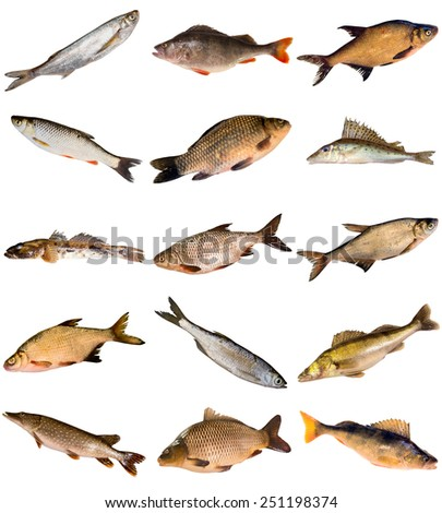 Fish species stock images royalty free images vectors for White fish types