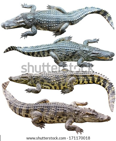 Collection of freshwater crocodile isolated on white  - stock photo