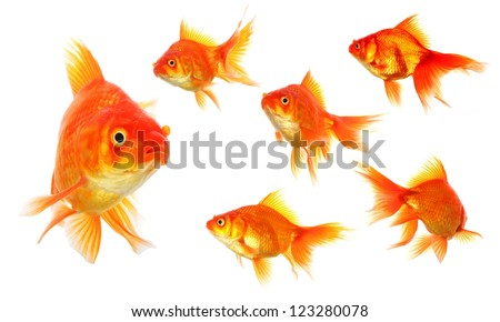 collection of goldfish isolated on white showing nature or eco concept - stock photo