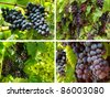 collection of grape clusters growing on the vine - stock photo