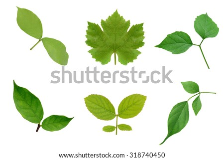 Collection of green leaves isoalte on white background