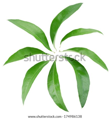 Collection of green leaves isolated on white background. Clipping path.