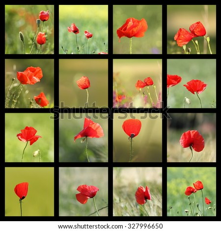 collection of images with wild poppies ( Papaver rhoeas ) - stock photo