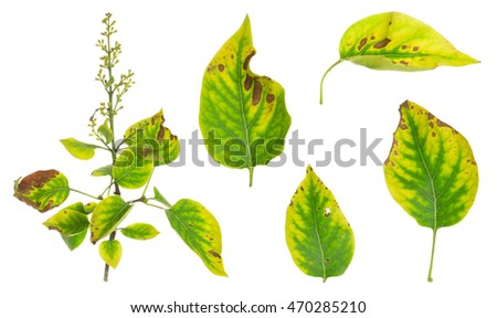 Collection of lilac, Syringa vulgaris twig and leafs with overblown colors isolated on white background