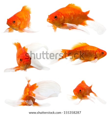 collection of long tail goldfish on white background
