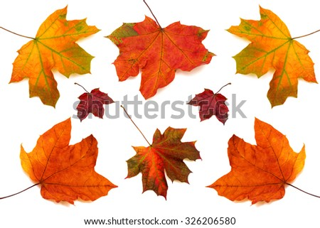 Collection of maple leaves isolated on white background - stock photo
