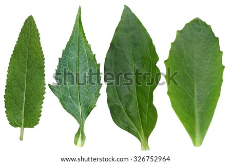 Collection of meadow sage,coneflower, soapwort, autumn joy sedum leaves isolated on white background - stock photo