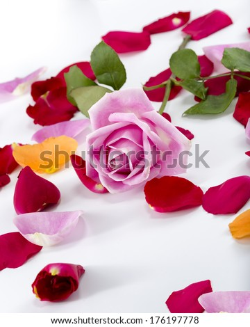 ... rose petals arranged with a pink long-stem rose on a white background