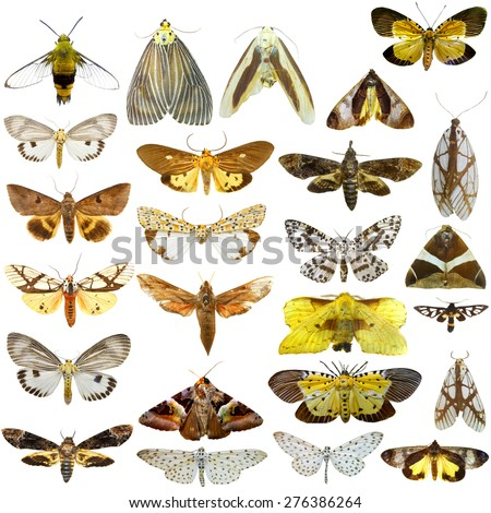 Collection of  night butterflies isolated on white, moth, atlas  - stock photo