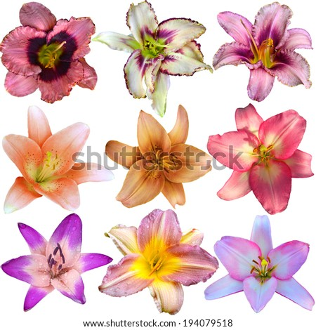 Collection of nine different lily flower heads isolated on white background  - stock photo