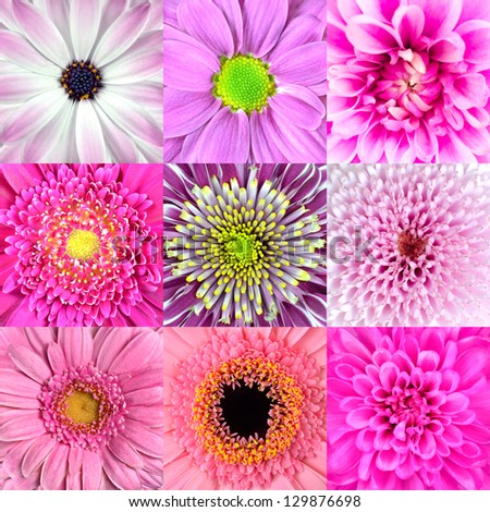 Collection of Nine Various Pink Flower Macros including Rose, Daisy, Osteospermum, Chrysanthemum, Marigold and other Wild Flowers - stock photo