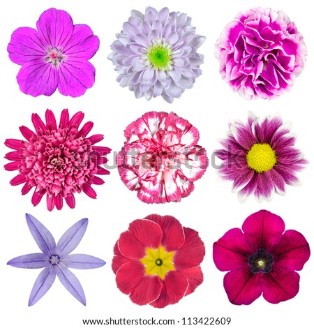 Collection of Nine Various Pink, Purple, Red Flowers Isolated on White Background. Selection of Nine Periwinkle, Rose, CornFlower, Lily, Daisy, Chrysanthemum, Dahlia, Carnation, Primrose Flowers