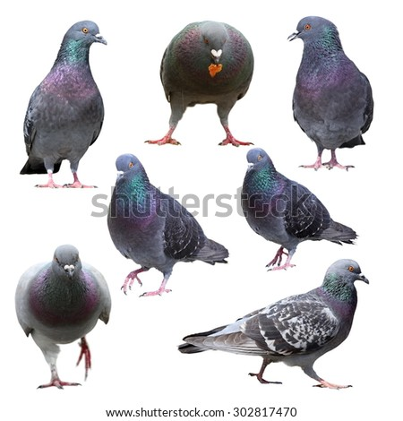 collection of pigeons in different positions, isolation over white background - stock photo