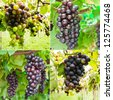 Collection of ripening grape clusters on the vine - stock photo